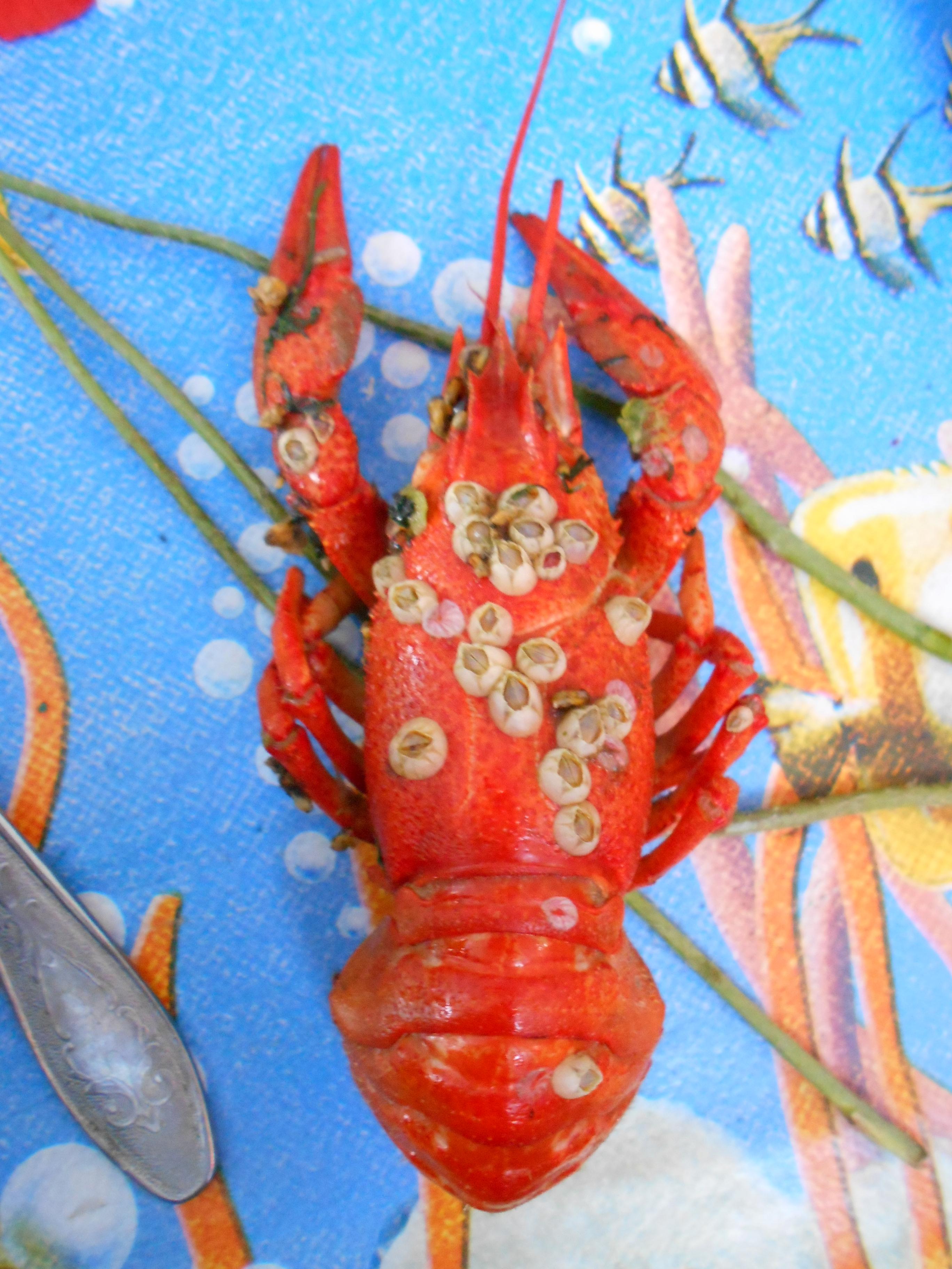 Freshwater crayfish covered with Balanomorpha